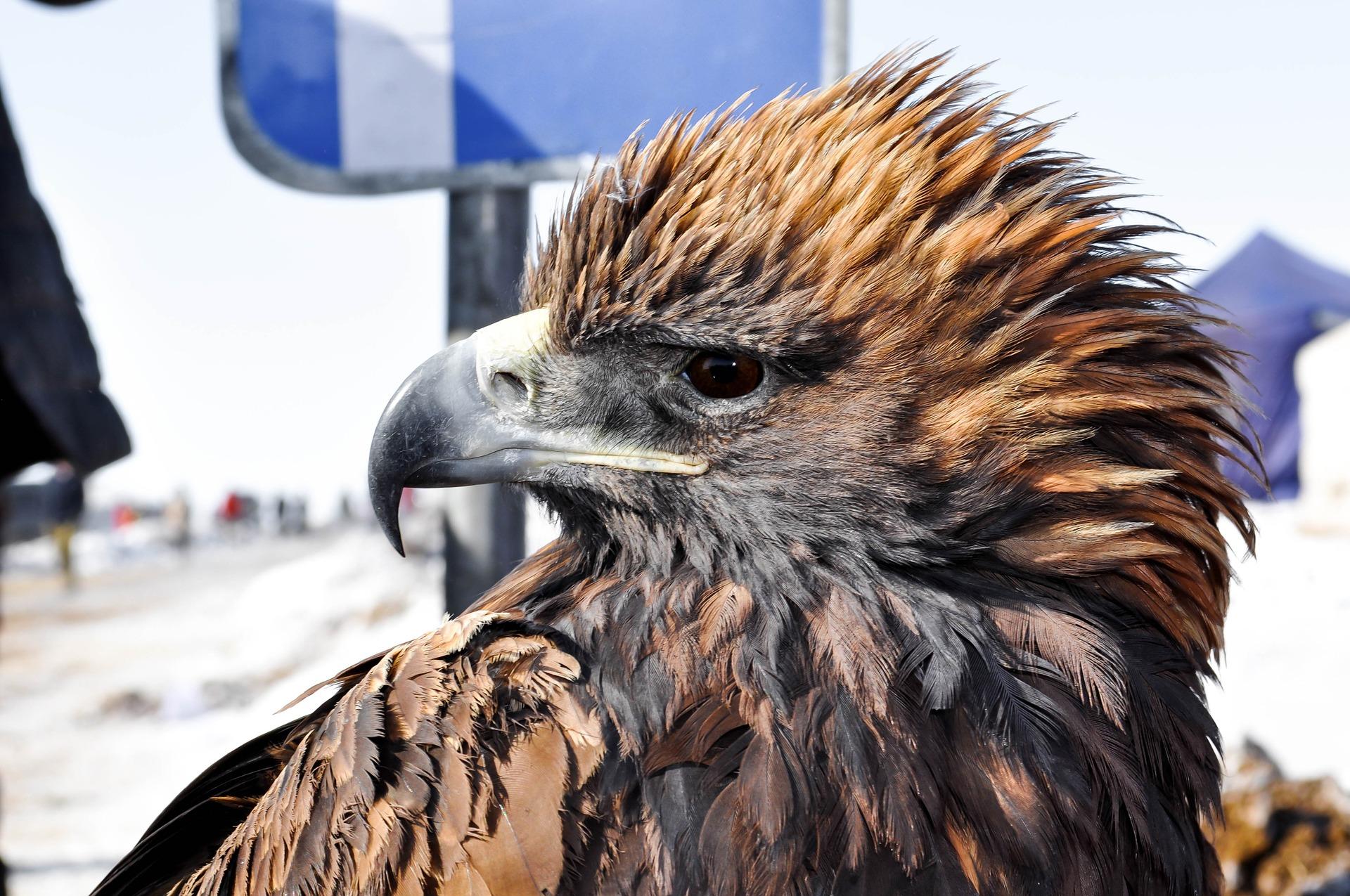 Mongolie : Festival des Aigles dans l'Altaï