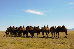 chameaux mongolie agence de voyages phileas frog paris 17