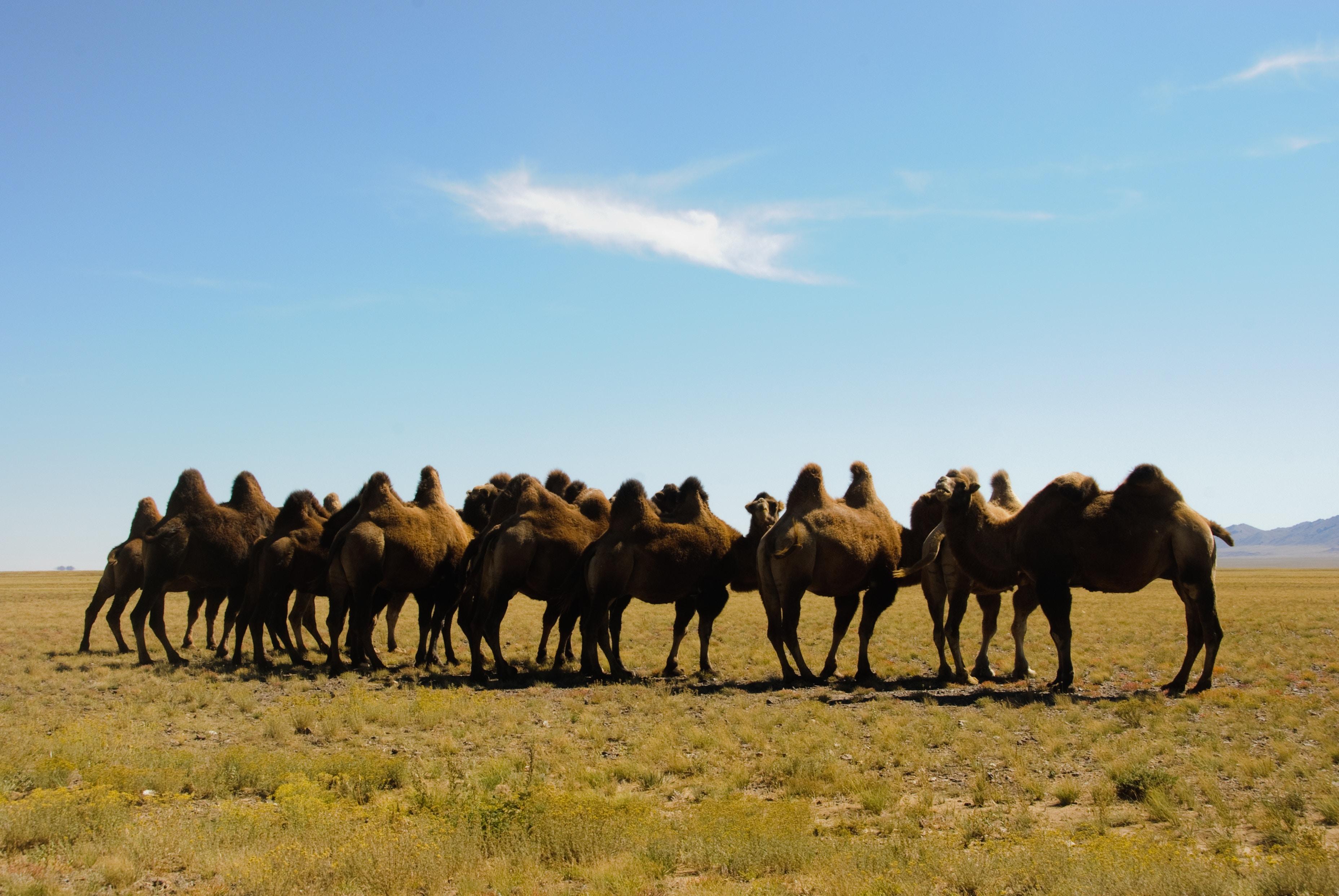Mongolie : le Tsagan Sar et la fête des 1000 chameaux