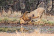 lion-Johannesbourg-phileas voyage.jpg