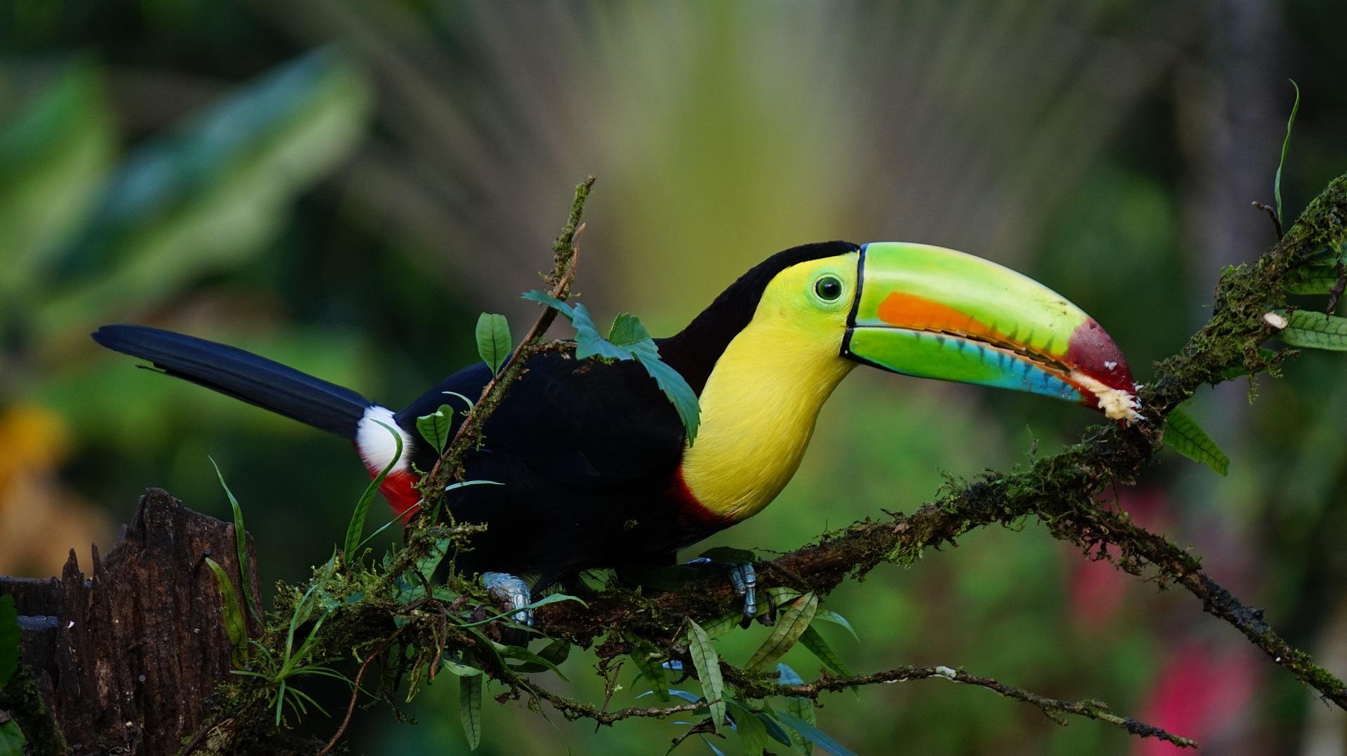 Les oiseaux du Costa Rica, grand voyage d'ornithologie